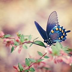 butterfly - blue on ping